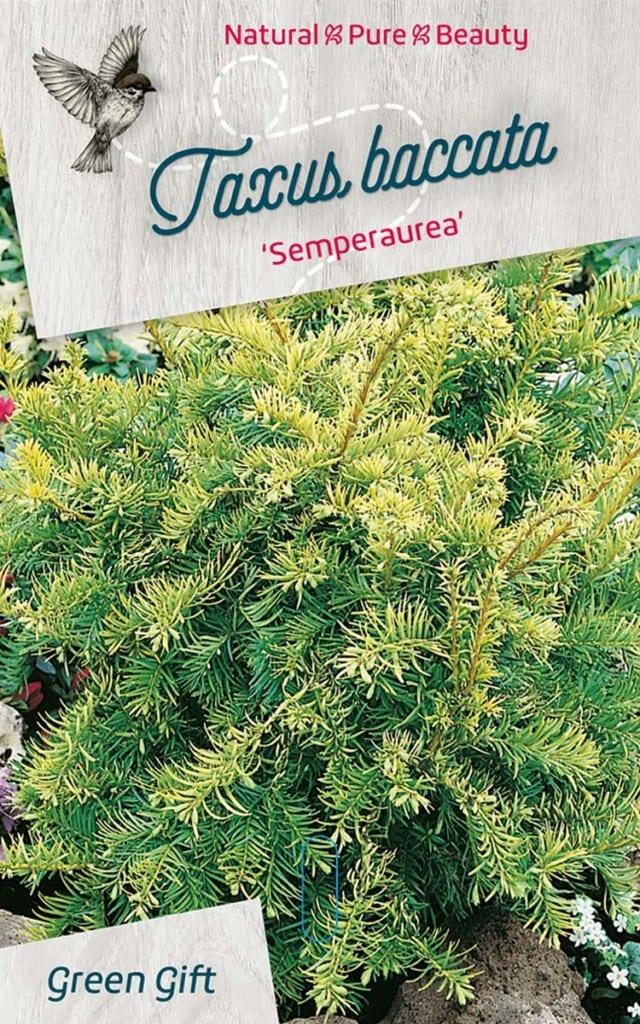 Taxus baccata 'Semperaurea'