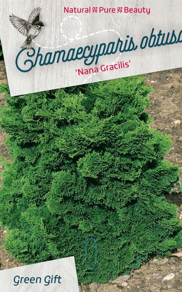 Chamaecyparis obtusa 'Nana Gracilis'