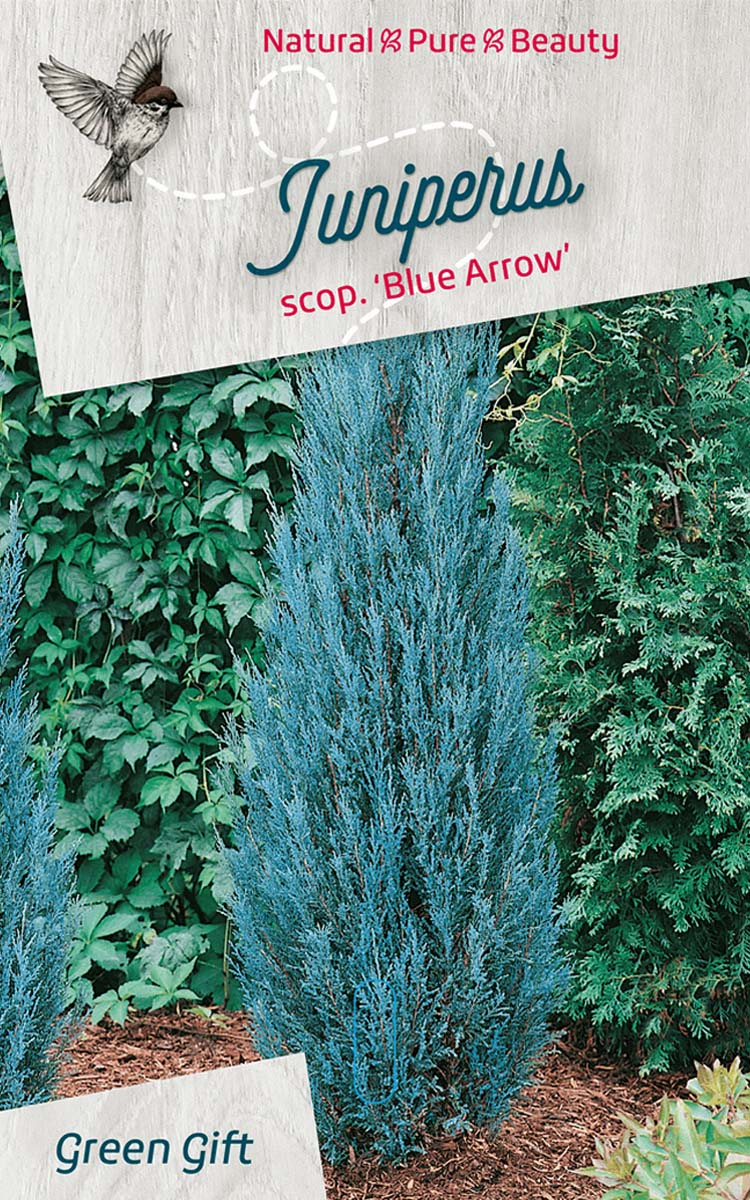 Juniperus scop. 'Blue Arrow'